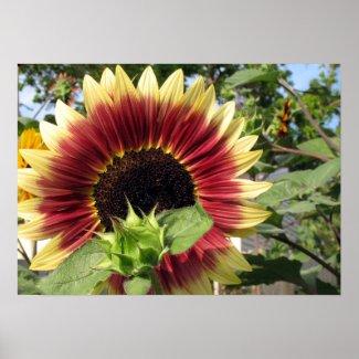 Razzmatazz Sunflower print