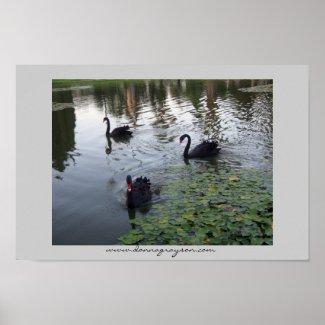 Black Swans  print